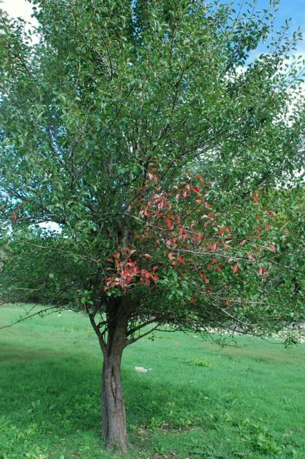 Pyrus communis subsp. pyraster 20