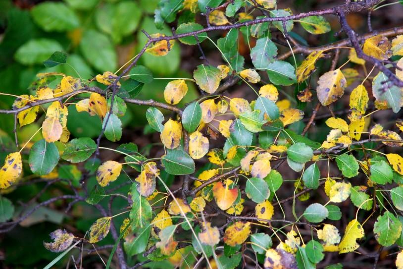 Pyrus communis subsp. pyraster 21