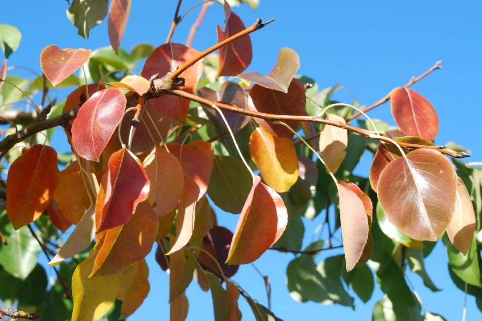 Pyrus communis subsp. pyraster 22
