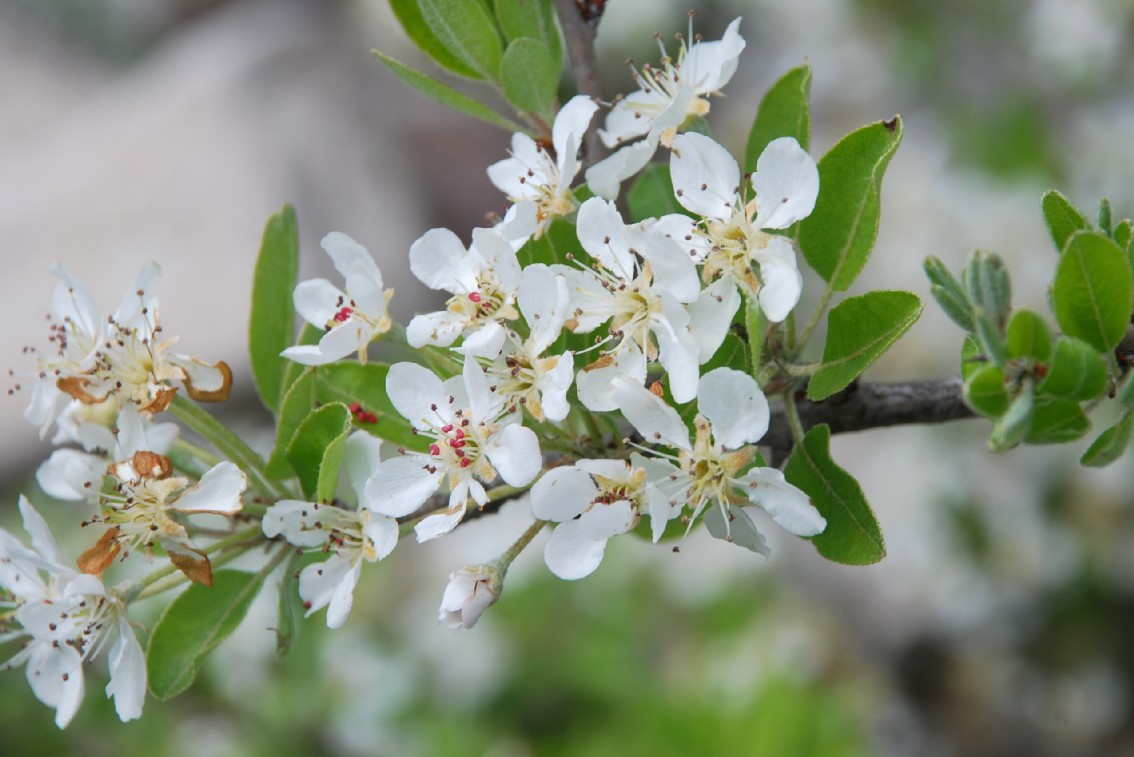 Pyrus communis subsp. pyraster 23