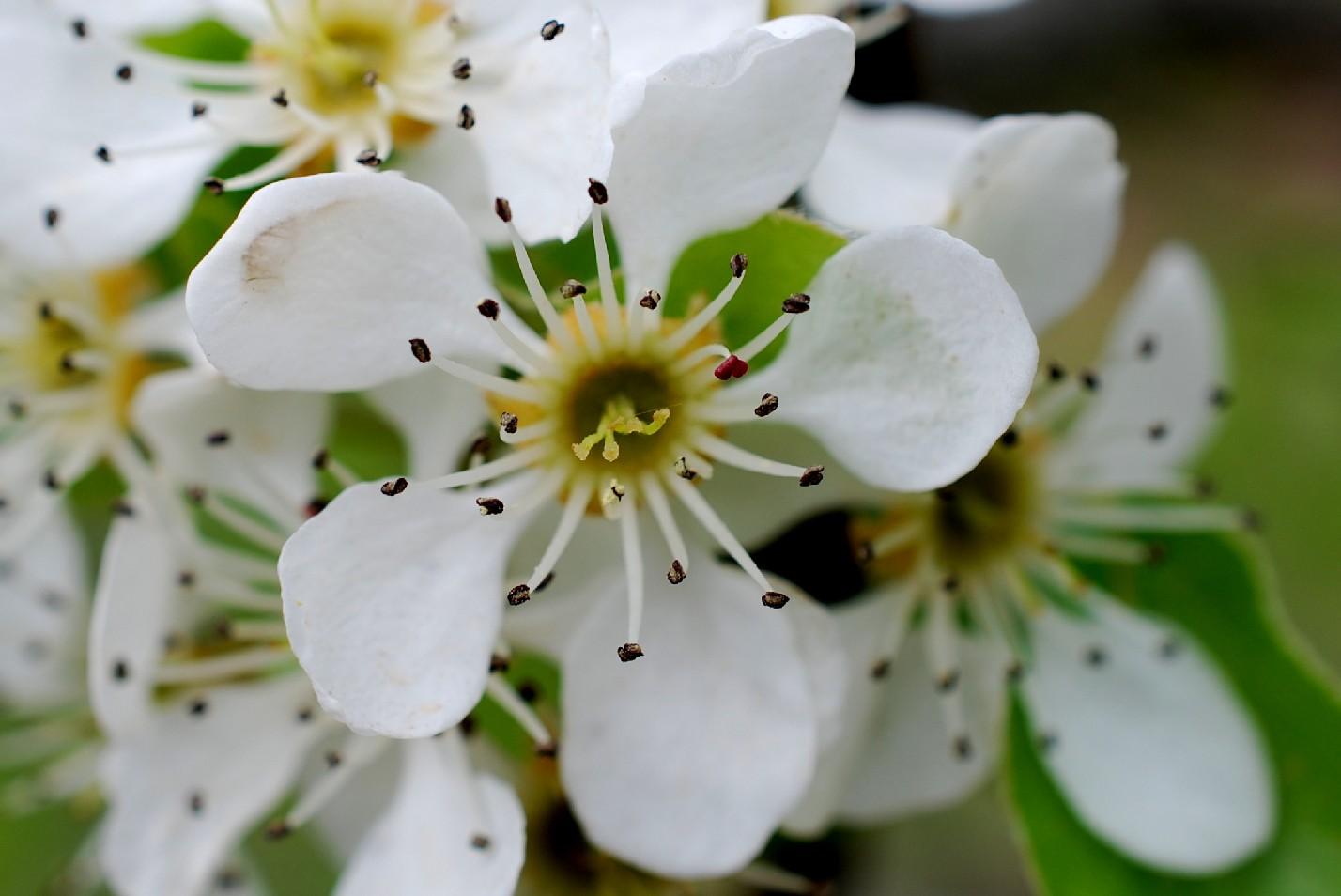 Pyrus communis subsp. pyraster 24