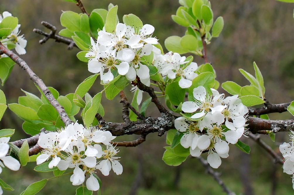 Pyrus communis subsp. pyraster 25