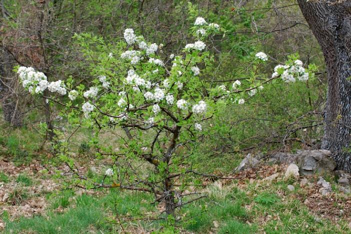 Pyrus communis subsp. pyraster 26