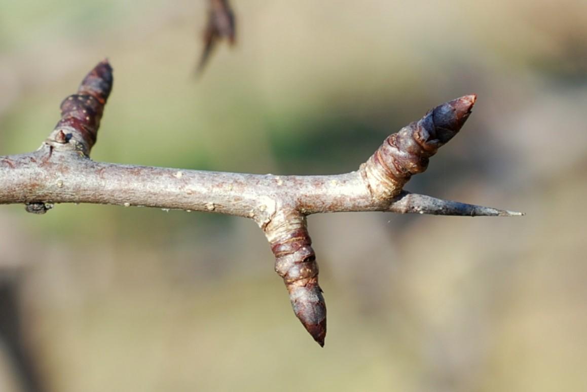 Pyrus communis subsp. pyraster 28