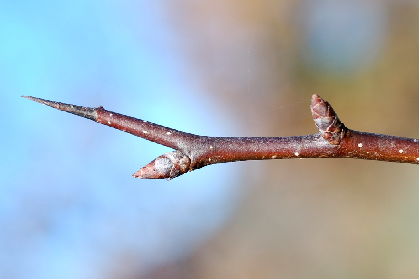 Pyrus communis subsp. pyraster 29