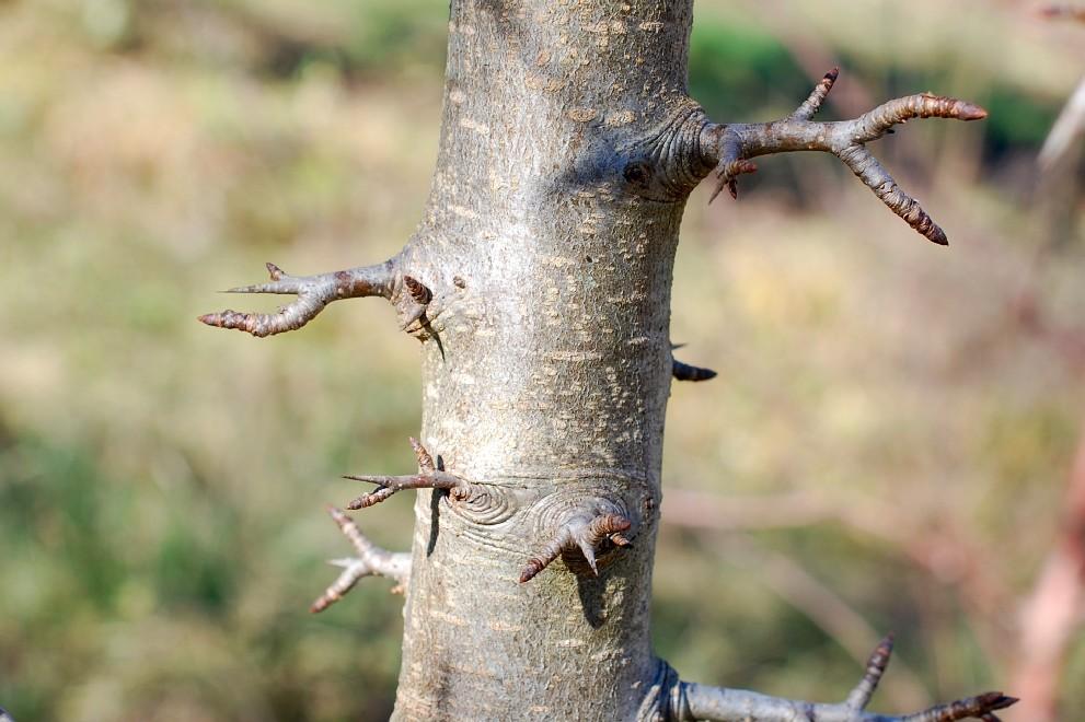 Pyrus communis subsp. pyraster 30