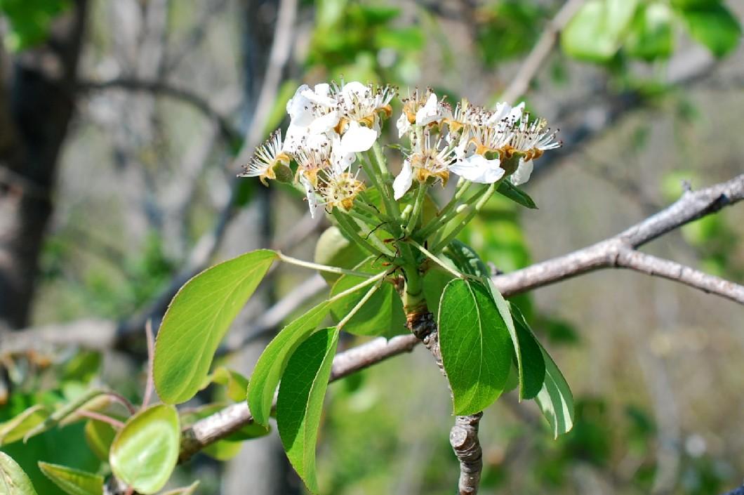 Pyrus communis subsp. pyraster 31