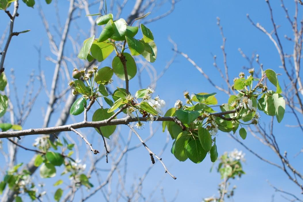 Pyrus communis subsp. pyraster 32