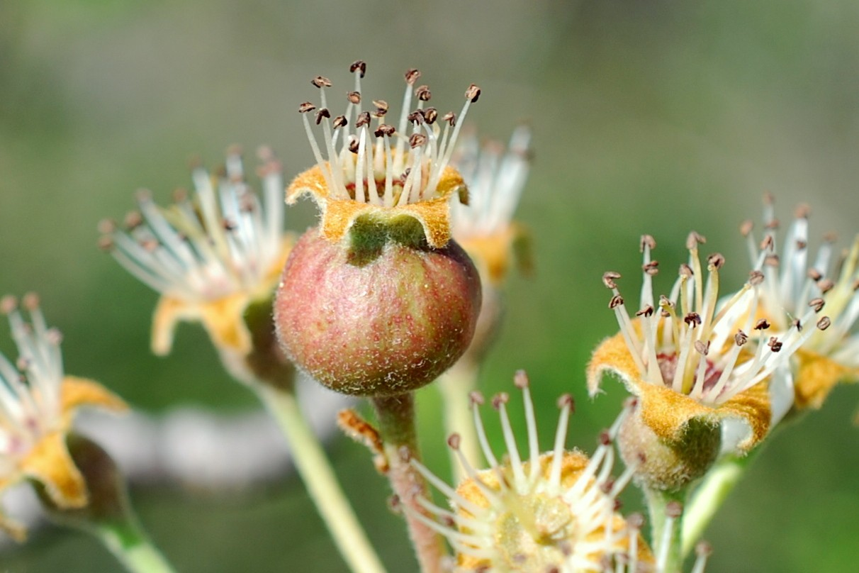 Pyrus communis subsp. pyraster 33