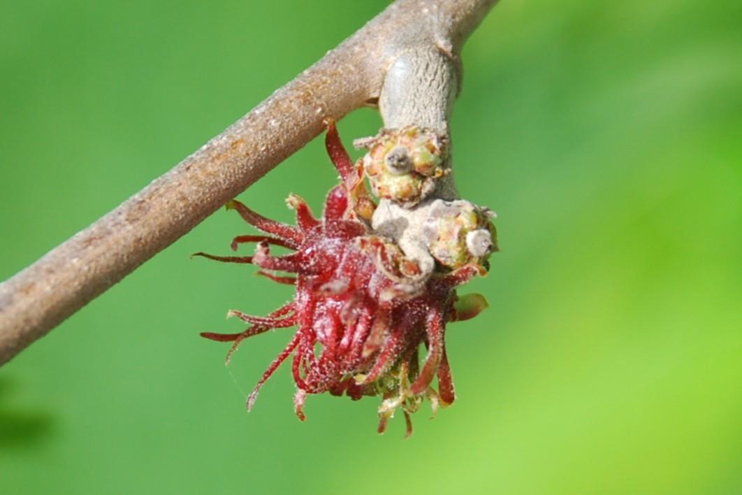 Quercus cerris 10
