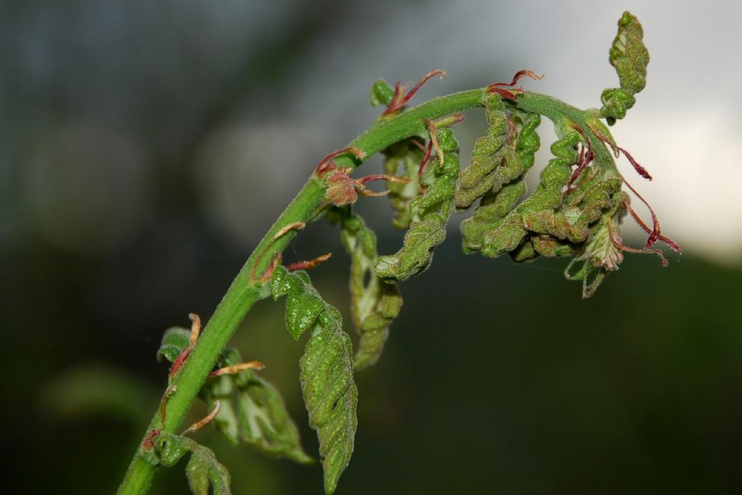 Quercus cerris 11