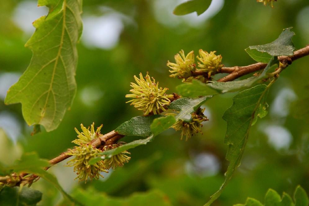 Quercus cerris 15