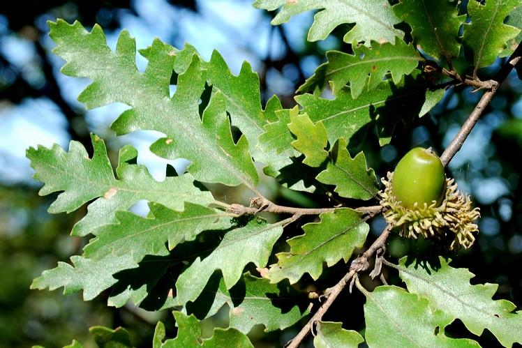 Quercus cerris 4