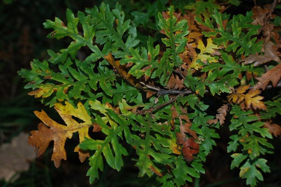 Quercus cerris 5