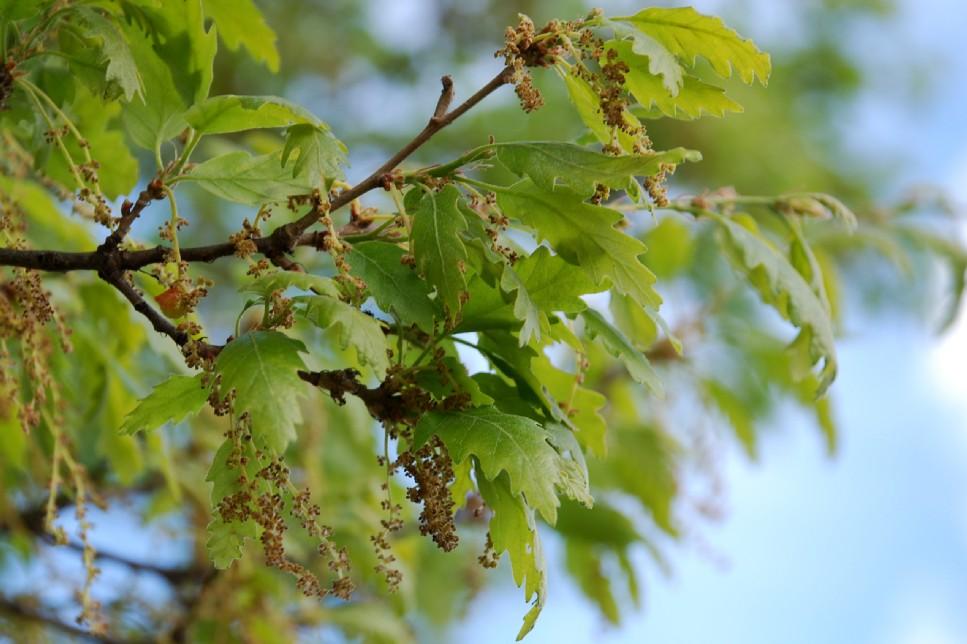 Quercus cerris 8