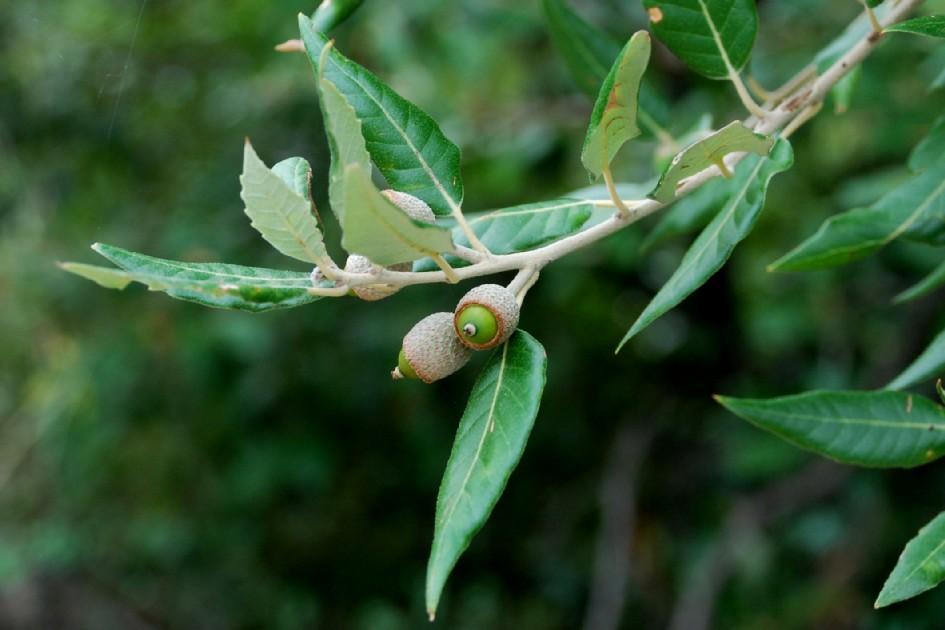 Quercus ilex subsp. ilex 10