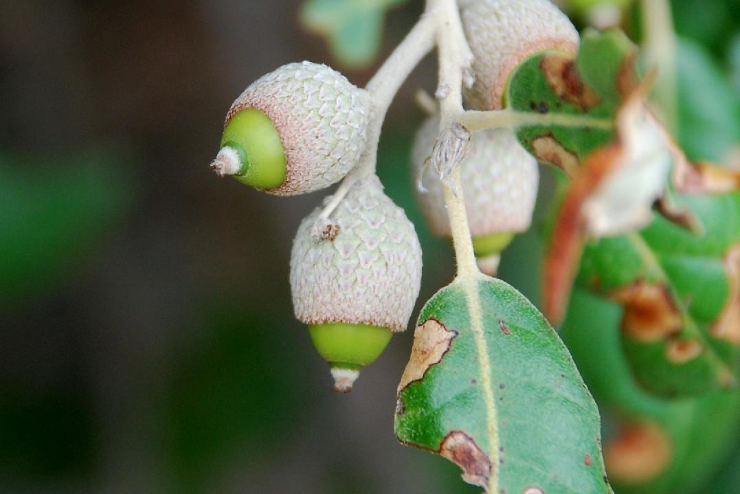 Quercus ilex subsp. ilex 11