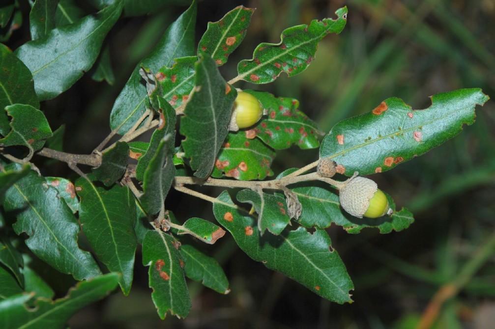 Quercus ilex subsp. ilex 13