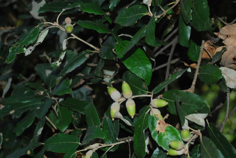 Quercus ilex subsp. ilex 15