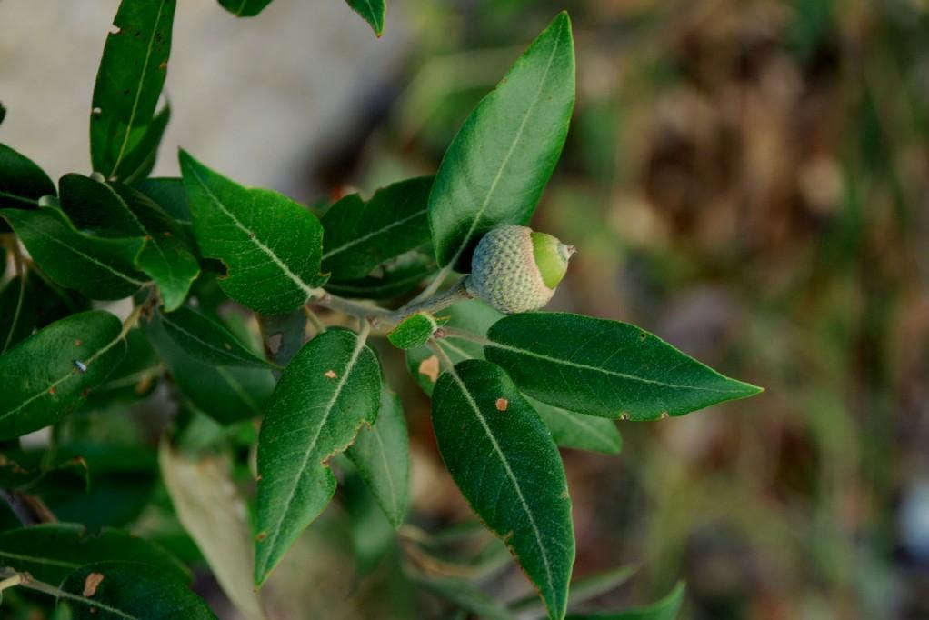 Quercus ilex subsp. ilex 4