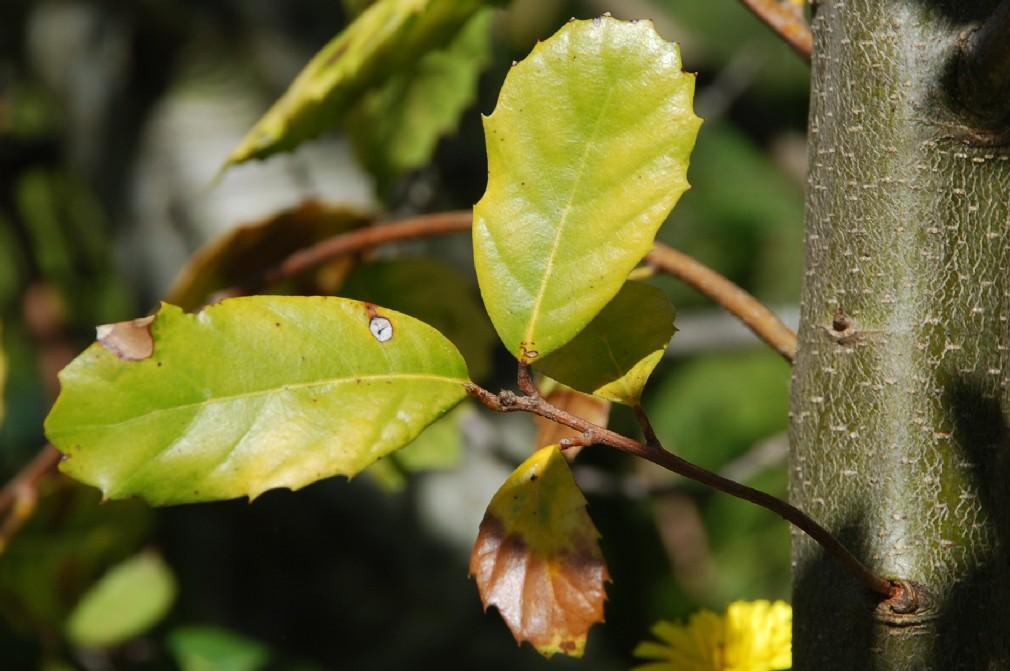Quercus ilex subsp. ilex 5