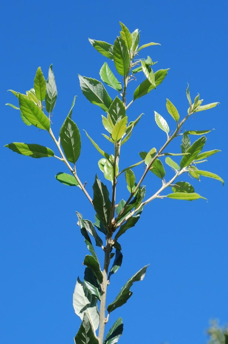 Quercus ilex subsp. ilex 6