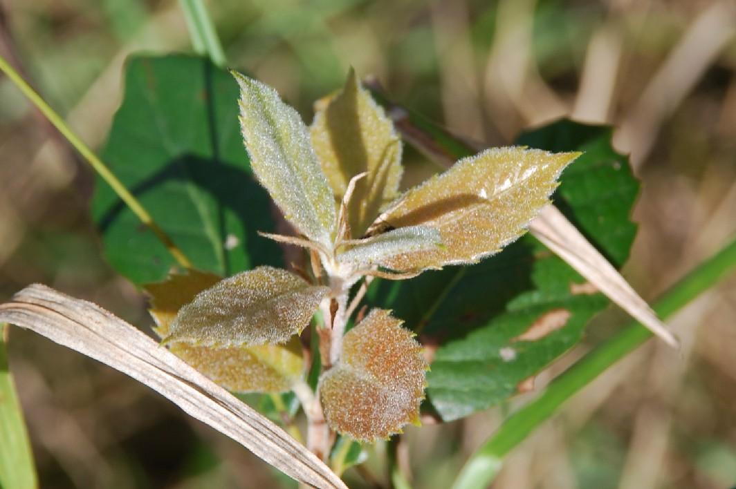 Quercus ilex subsp. ilex 7