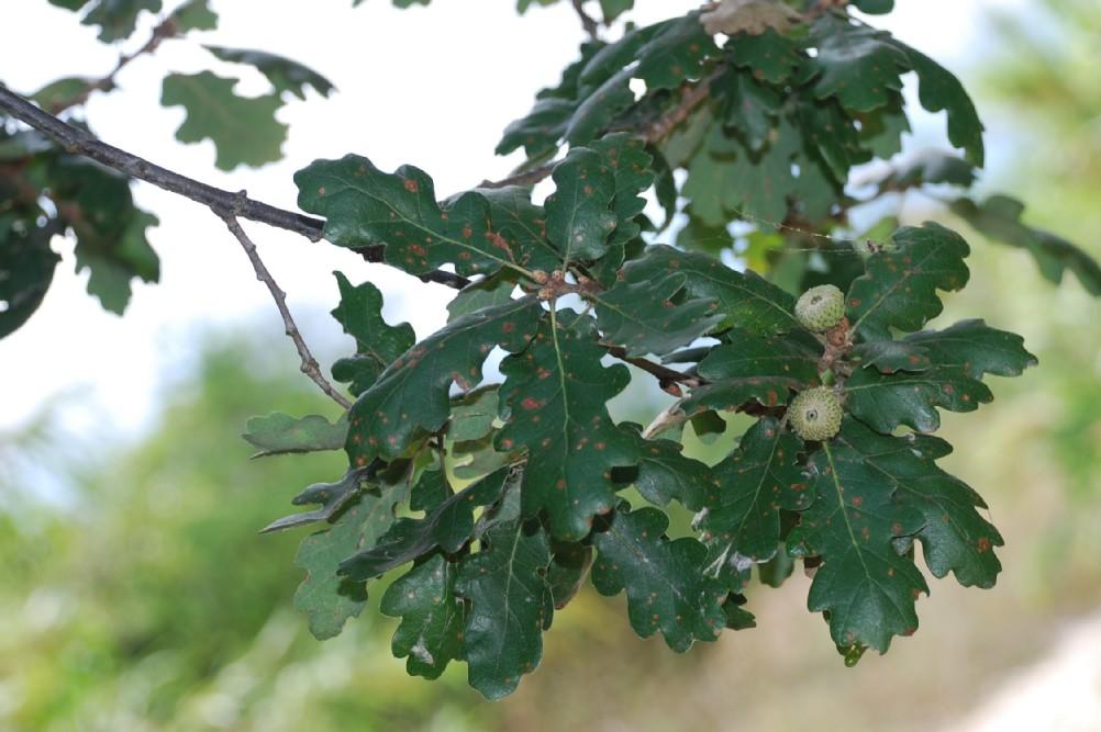 Quercus pubescens 11