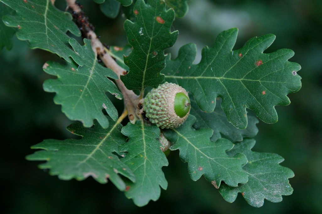 Quercus pubescens 12