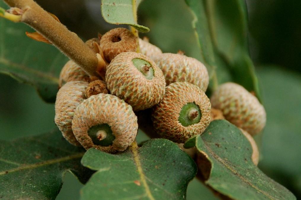 Quercus pubescens 14