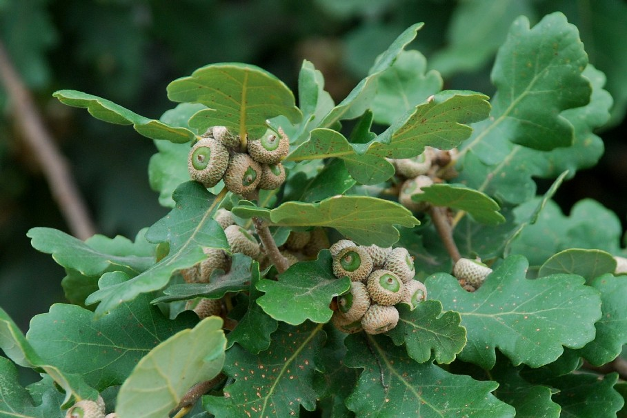 Quercus pubescens 15