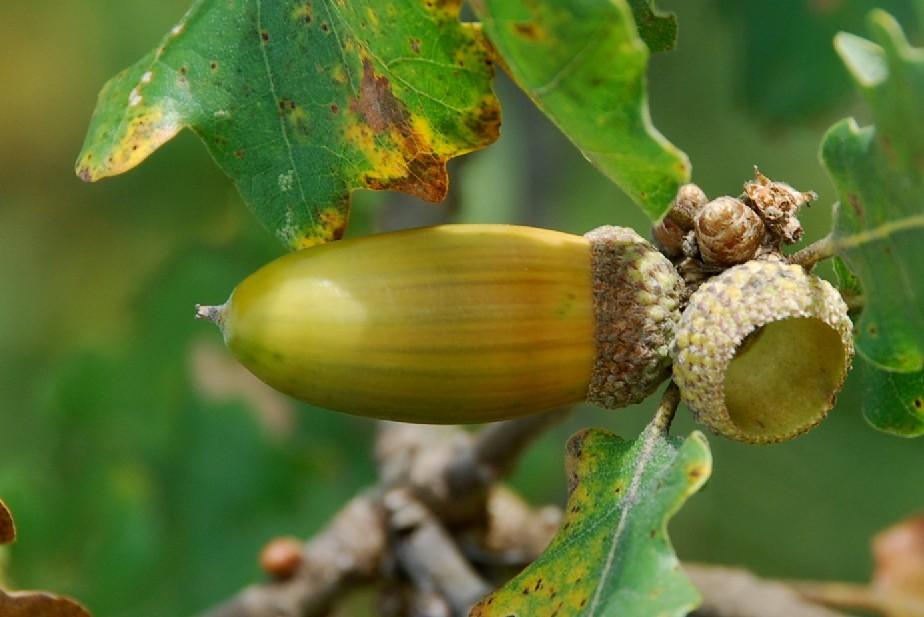 Quercus pubescens 17