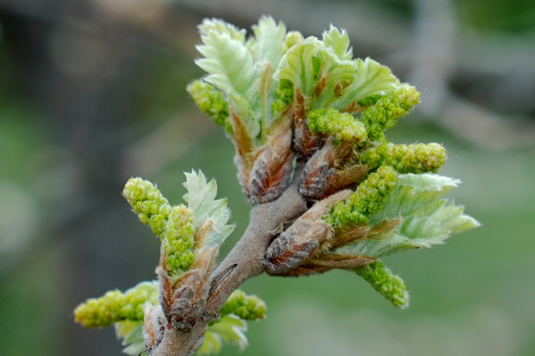 Quercus pubescens 19