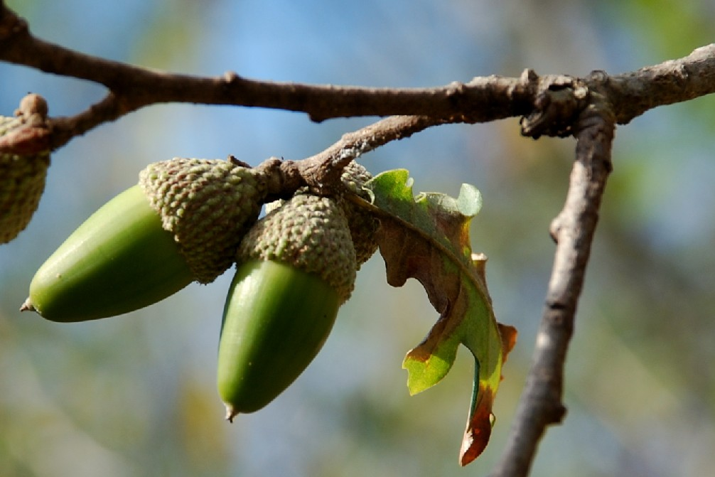 Quercus pubescens 4