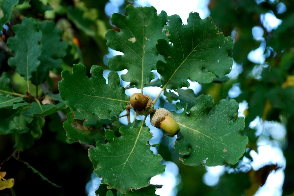 Quercus pubescens 5