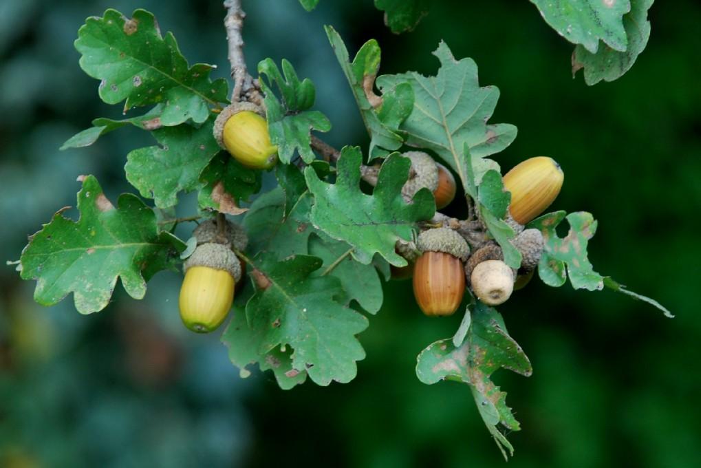 Quercus pubescens 6