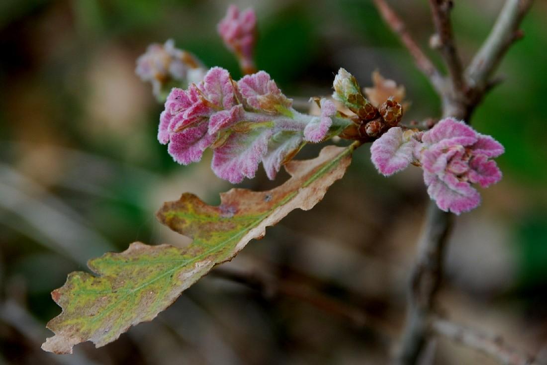 Quercus pubescens 9