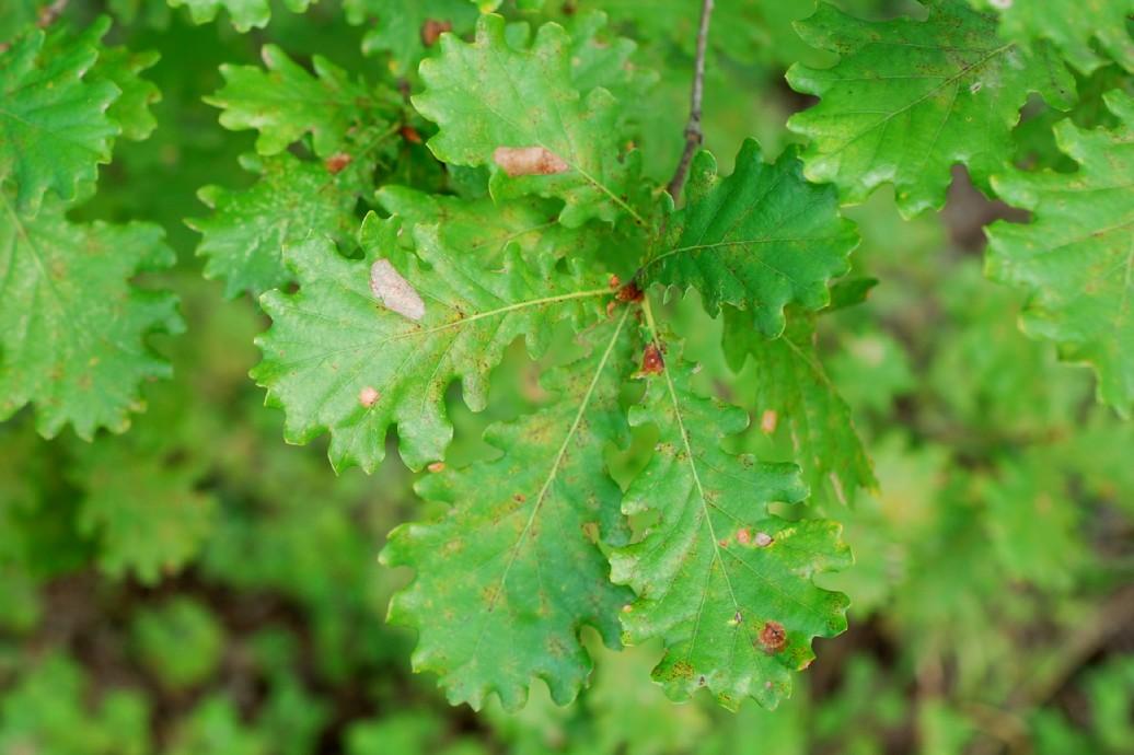 Quercus robur subsp. robur 11