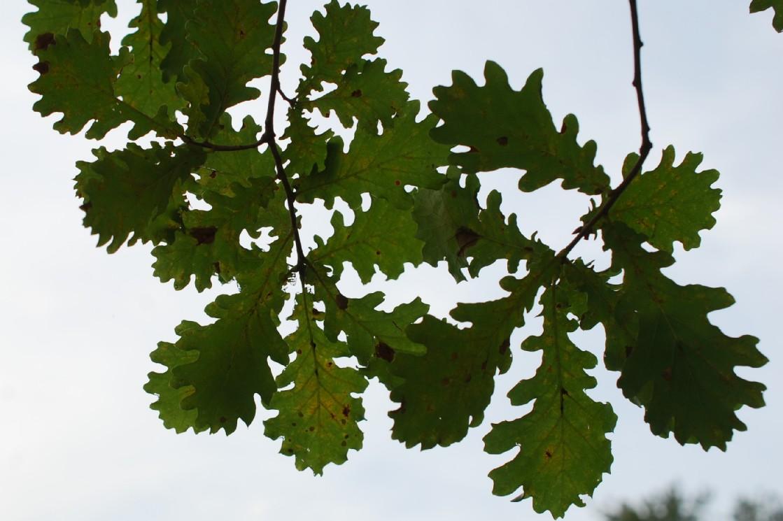Quercus robur subsp. robur 12