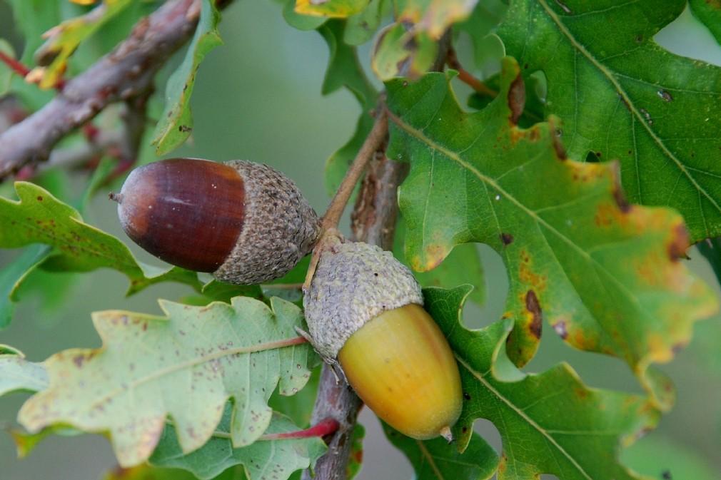 Quercus robur subsp. robur 2