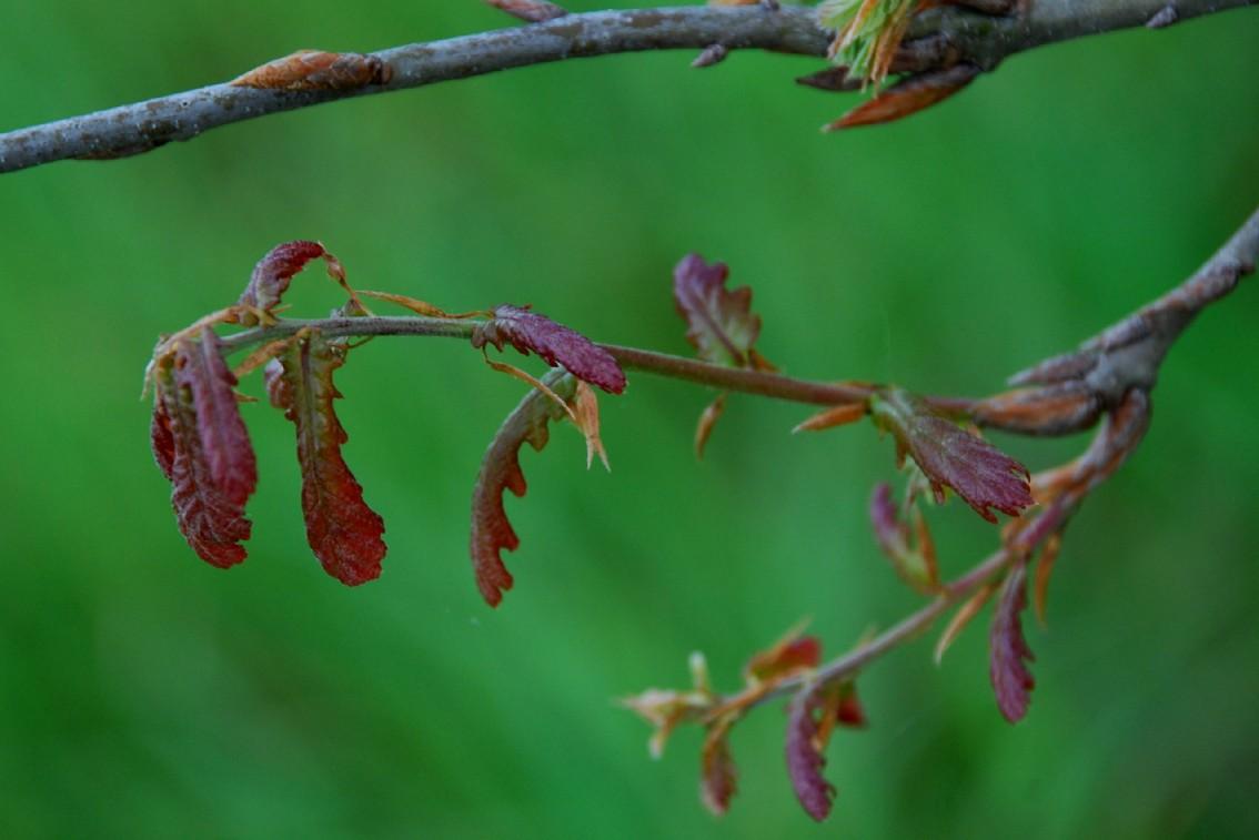 Quercus robur subsp. robur 4