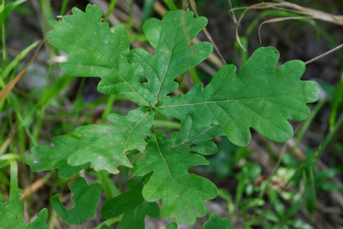 Quercus robur subsp. robur 5