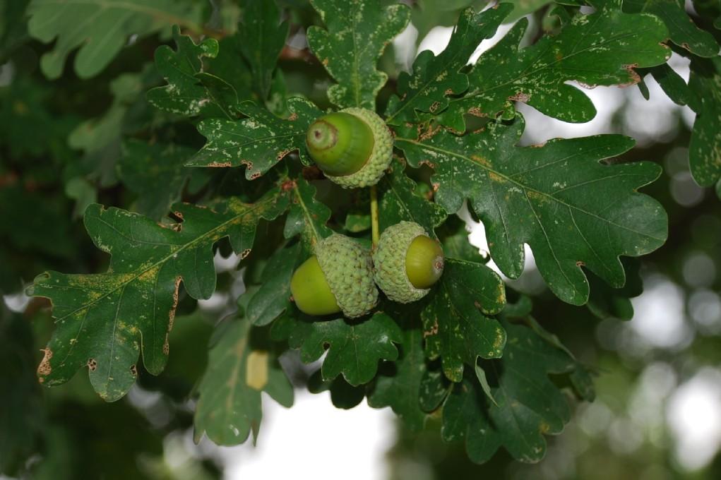 Quercus robur subsp. robur 7