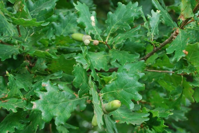 Quercus robur subsp. robur 8