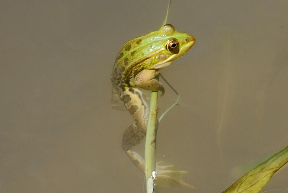 Rana bergeri - Ranidae -  Rana verde italiana