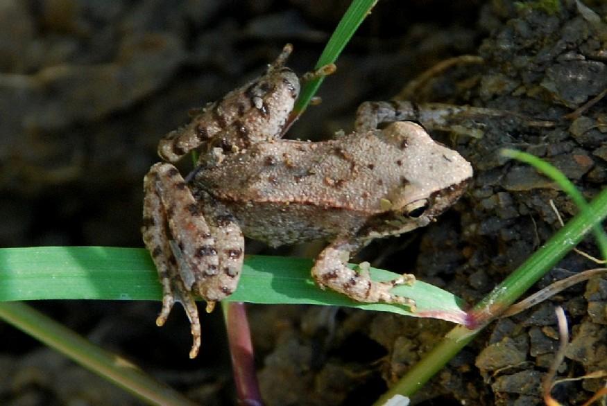 Rana italica - Ranidae