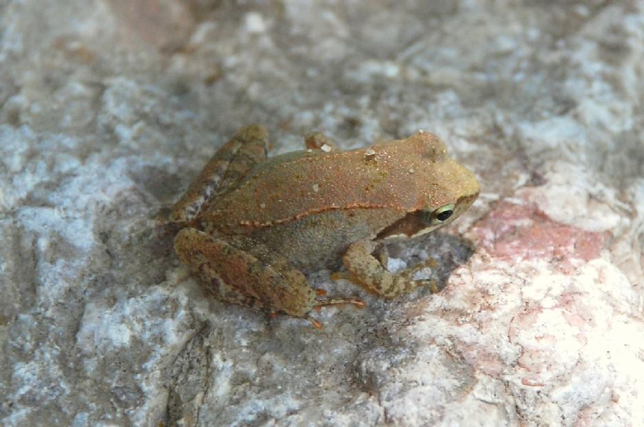 Rana italica - Ranidae - Rana appenninica