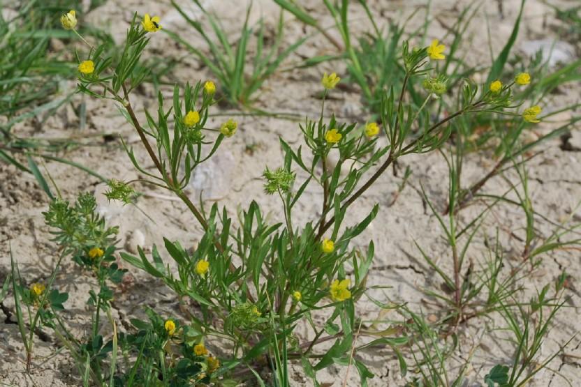 Ranunculus arvensis 10