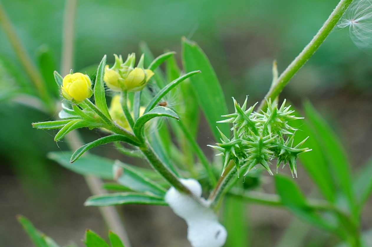 Ranunculus arvensis 18