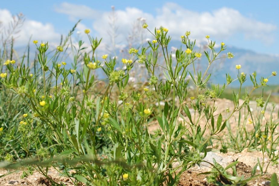 Ranunculus arvensis 19